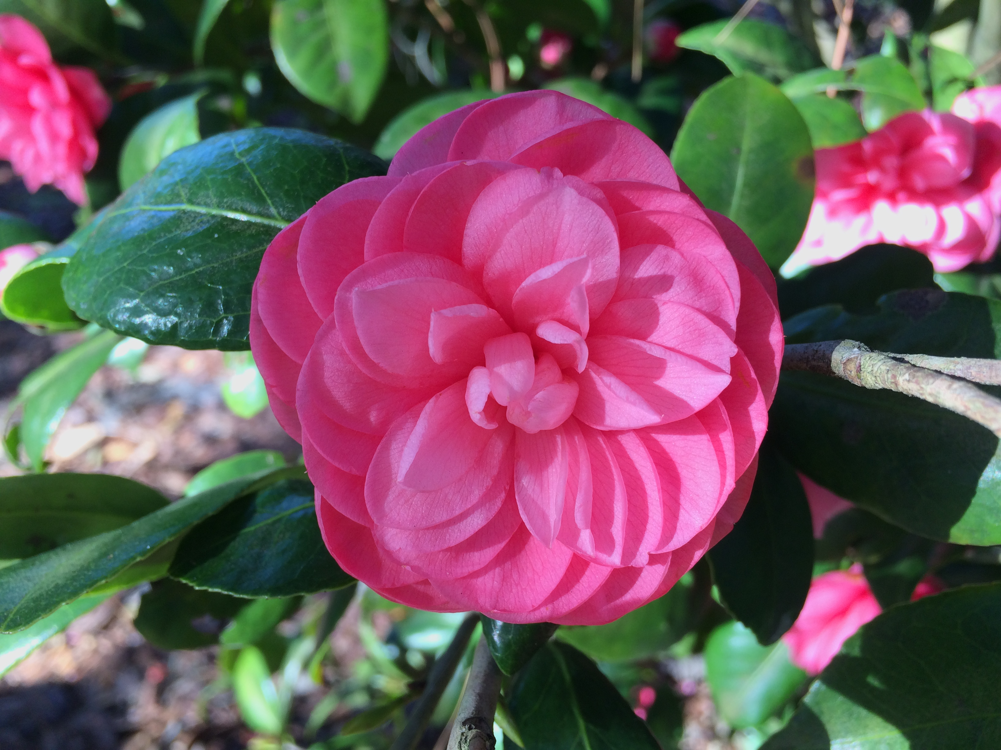 Now Blooming:  Camellias!