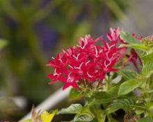 penta-flower