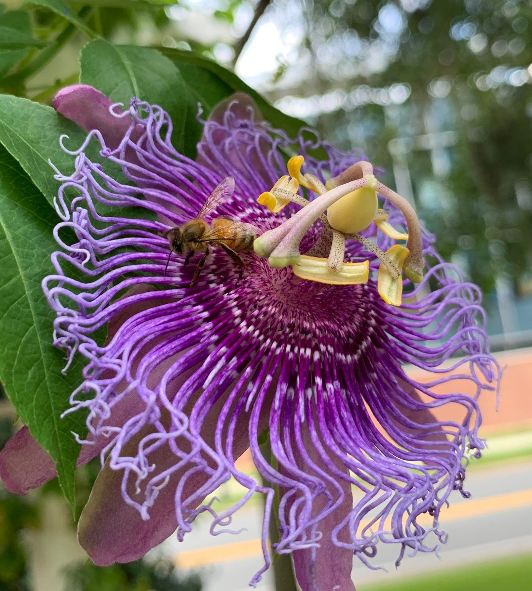 Now Blooming: Passion Flower (Click the picture for more information)